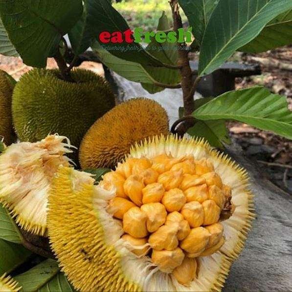 4 perbedaan buah nangka dan buah cempedak    berbagai sumber