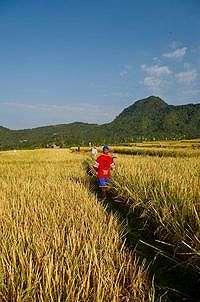 Kementan Prediksi Panen Raya Capai 2,25 Juta Hektar