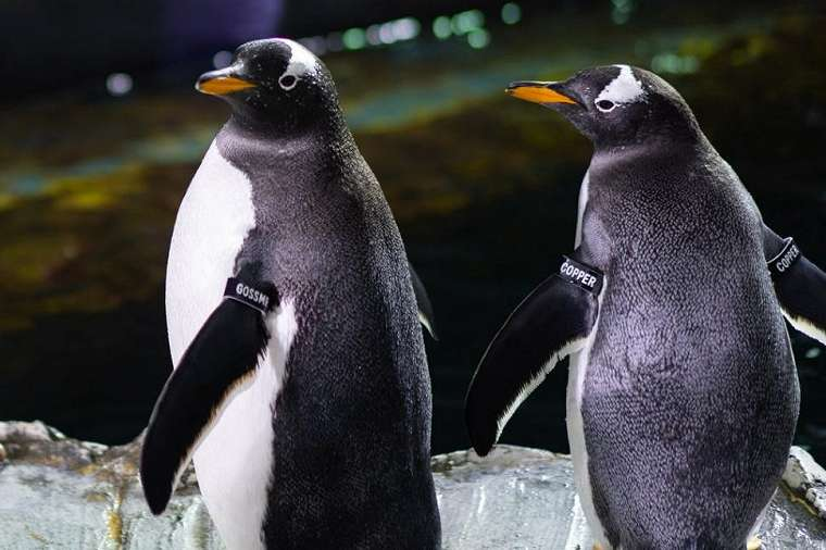 Penguin yang kepergok selingkuh. (Loveland Living Planet Aquarium)