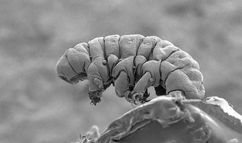 Makhluk mikroskopis Tardigrada. (Royal Society of Biology)