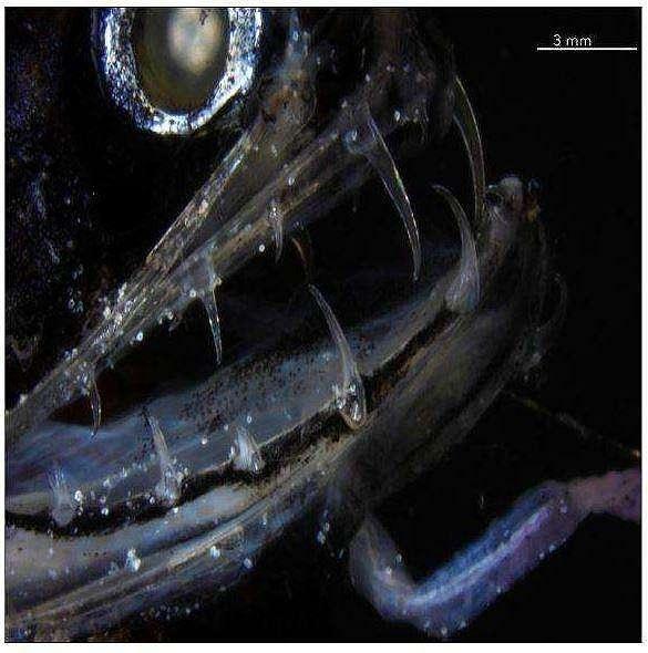Wajah ikan naga dalam jarak dekat. (Jurnal Matter/ Velasco-Hogan)