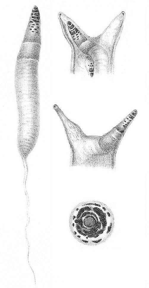 Ilustrasi cacing Leucochloridium_paradoxum. (Wikipedia/ Auguste)