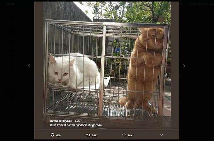 Kucing oren menolak dijodohkan. (twitter/6tigakali)