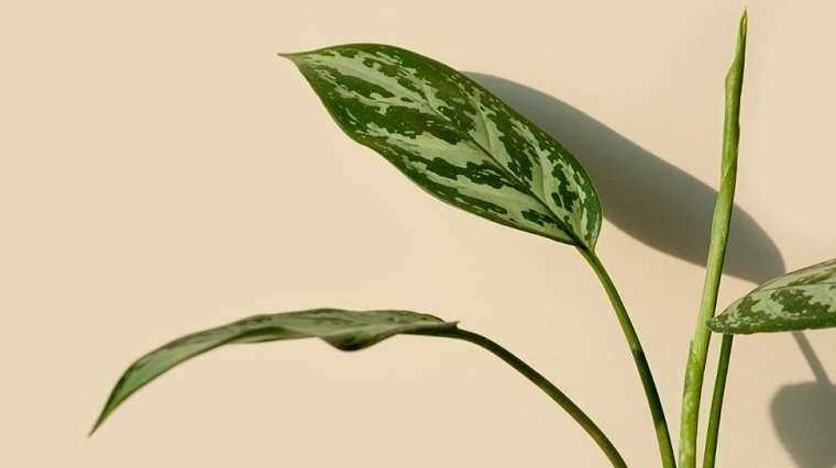 Aglonema silver queen, jenis aglonema tanaman hias populer (envato)