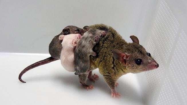 Marsupial rekayasa genetika. [MIT Technology Review]