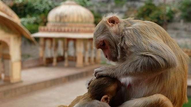 Monyet.