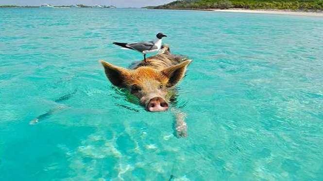 Seekor babi berenang