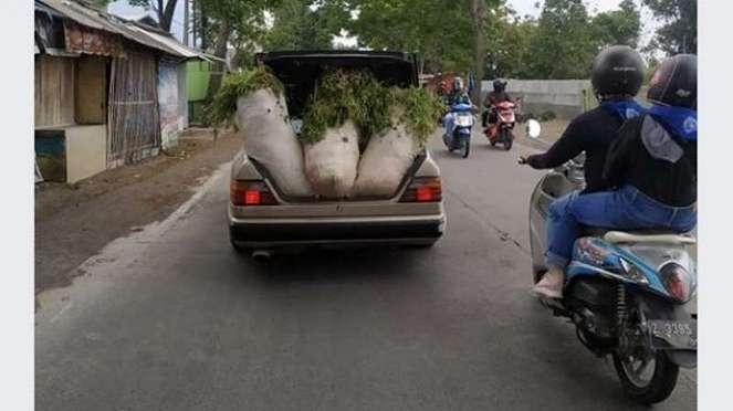 Bagasi mobil Mercedes-Benz dipakai untuk mengangkut rumput