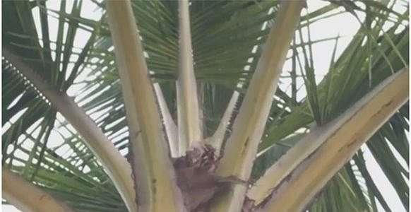 Anak Kucing yang Baru Lahir Menggantung di Pohon Kelapa Dapat Diselamatkan