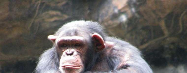 Simpanse Cerdas Dapat Mengakali Manusia, Mereka Kabur dengan Cara Ini