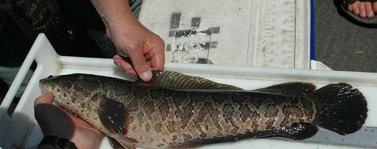 Ikan gabus sangat rakus dan bisa bertahan tiga hari di darat bikin repot pemerintah AS