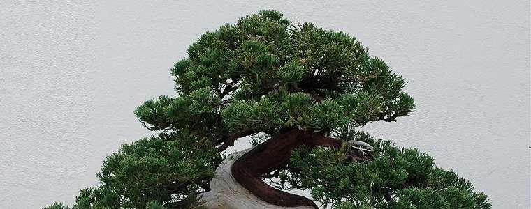 Kehilangan pohon Bonsai senilai Rp1,2 milyar, sang pemilik memohon pencurinya merawatnya sepenuh hati