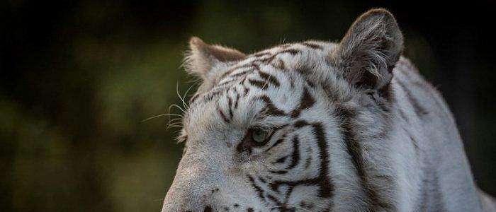 Satu Harimau Putih Langka Lahir di Kebun Binatang Nasional Kuba di Havana