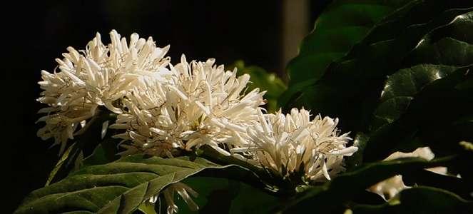 Menghirup Wangi Aroma Kopi Mocca Di Dusun Sirap