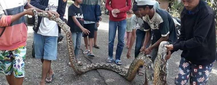 Muncul Lagi, Ular Piton 7 Meter Hampir Telan Warga Bone